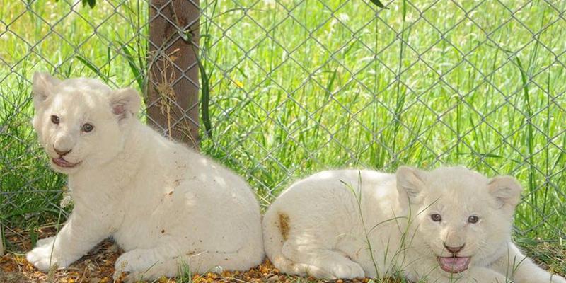 Friguia Park: les petits lionceaux blancs vous sourient !