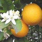 1ère édition de la 'Fête des fleurs de bigaradier', du 12 au 14 avril à Nabeul