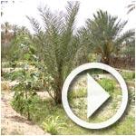 En vidéo : La Corbeille de Nefta, zone riche en plantations et cultures
