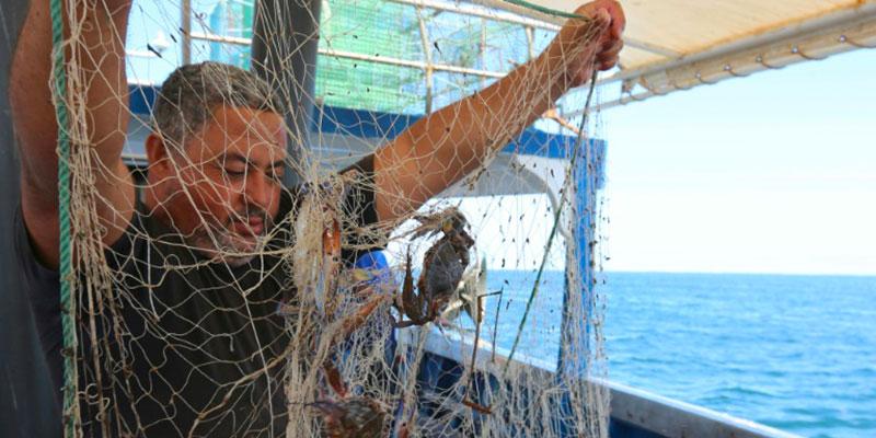 En photos : Le crabe bleu, prédateur redoutable devenu proie prisée