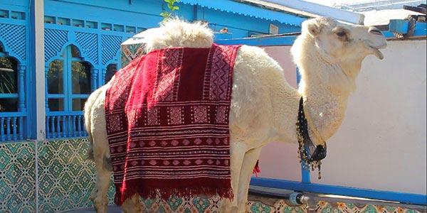 En vidéo : Découvrez l'histoire de 'Fathia', la fameuse chamelle symbole du Saf Saf