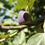 En photos : Retour sur la Journée Promotionnelle des Figues de Djebba