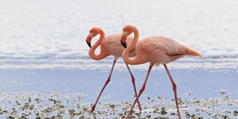 Un nombre record de flamants roses comptabilisé sur la Lagune de Sahline