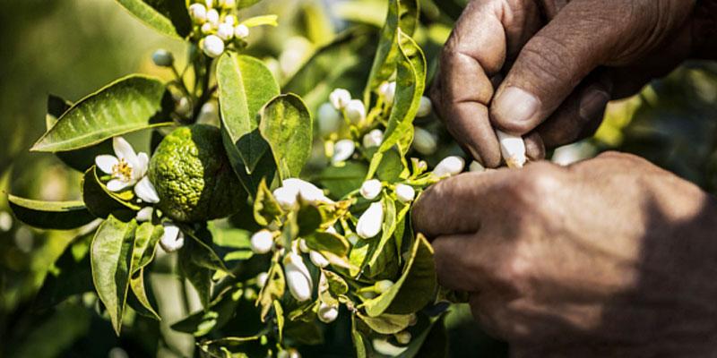 Nabeul: La récolte des fleurs de bigaradier démarre!