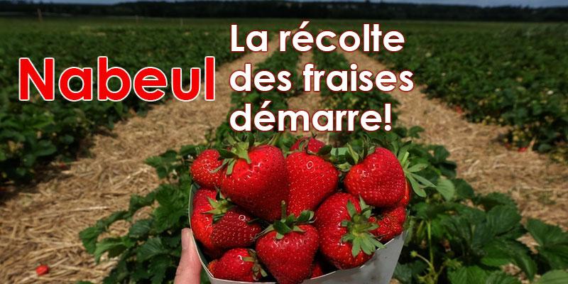 Nabeul: La récolte des fraises démarre!