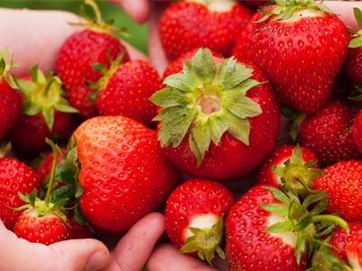 La récolte des fraises devrait atteindre 17 mille tonnes cette année