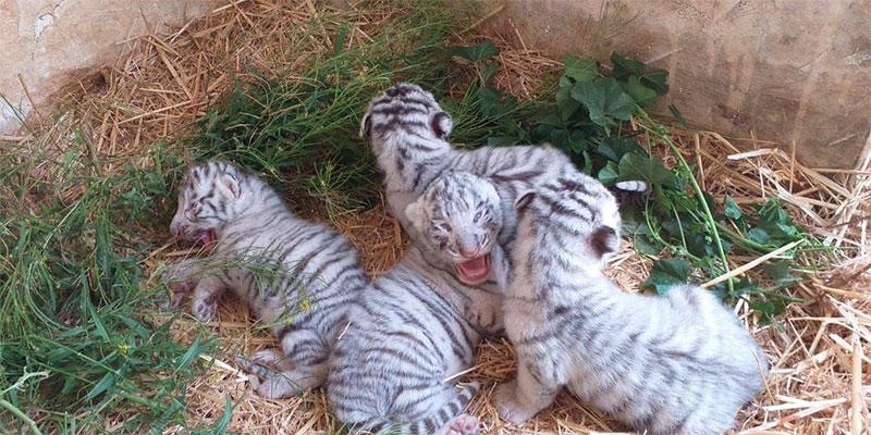 La joie au Friguia Park pour la naissance de quatre bébés tigres