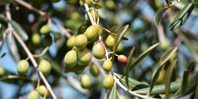 Une production de 40 mille tonnes d'huile d'olive estimée à la Mahdia