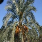 Legmi : Le fameux jus de palme du Sud Tunisien