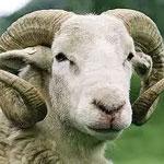 Aïd Al Adha : Quels sont les types de moutons les plus populaires ?