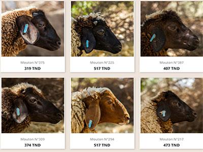 Commandez votre mouton En ligne et faites vous livrer à la maison