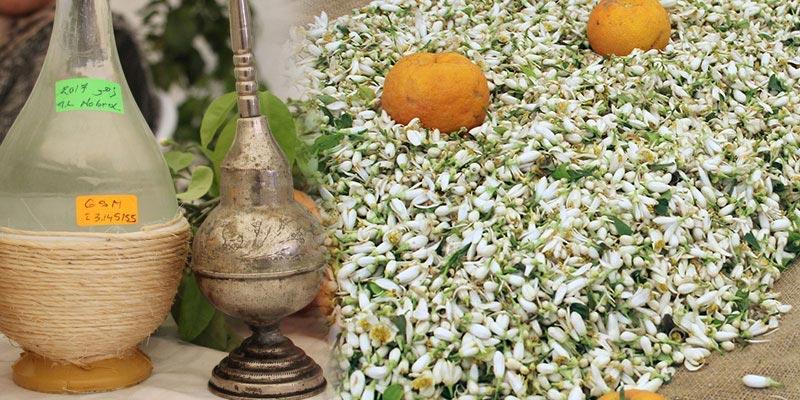 C'est la saison de cueillette et de distillation des fleurs du bigaradier à Nabeul