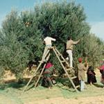 Sfax: 10 novembre démarrage de la cueillette des olives