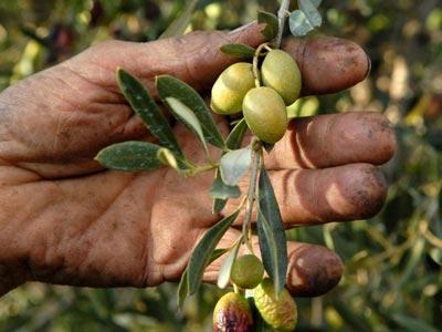 Progression de 85% de la récolte des olives A Kasserine