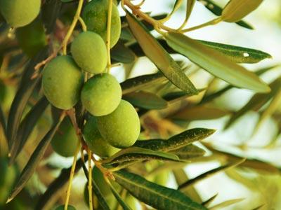La récolte des olives à Kasserine devrait atteindre le double cette année
