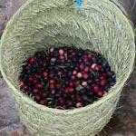 Cueillette et pression artisanale des olives au gîte rural Dar Zaghouan