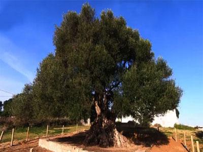 Découvrez l'olivier tunisien aux 2500 ans !