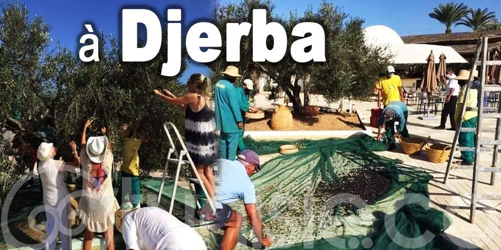 En photos : Quand les touristes récoltent les olives à Djerba