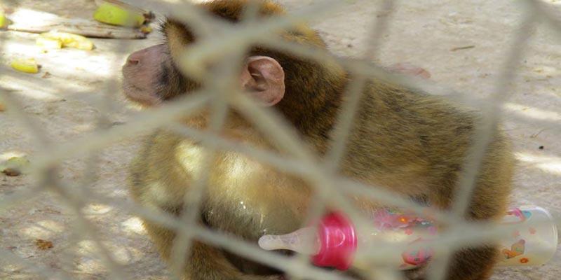 Parc Friguia : le bébé singe Raihana réclame son biberon !