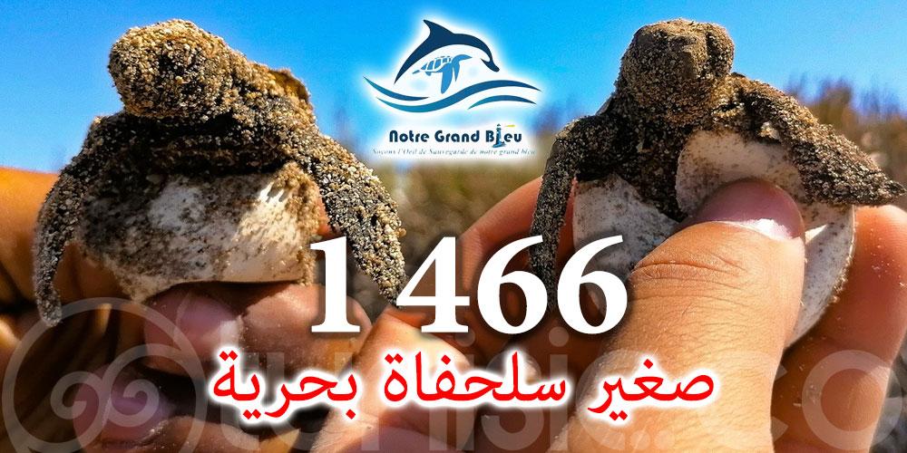 1466 صغير سلحفاة بحرية ينجح في العودة بسلام إلى البحر بجزر قوريا