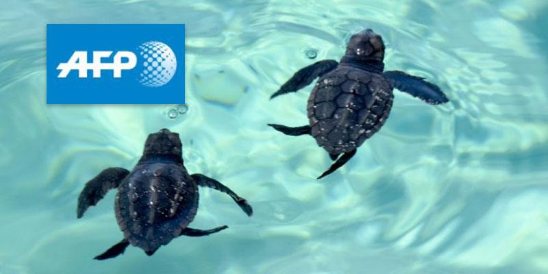 Selon l'AFP : Une initiative inédite pour aider à protéger les tortues à Kuriat