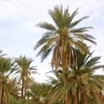 Campagne de nettoyage de l´ancienne oasis de Tozeur