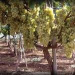 Viticulture en Tunisie