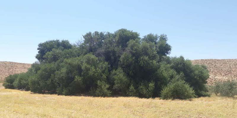 الدويرات : جني أكبر زيتونة في حوض المتوسط -900 سنة من الإنتاج الوفير