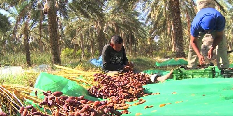 En vidéo : Début de la saison de cueillette des dattes au sud de la Tunisie