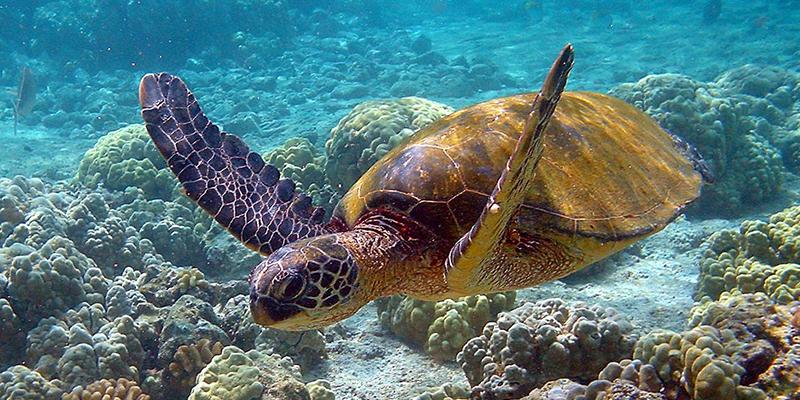 Une 1ère en Tunisie et en Méditerranée: éclosion d'œufs de tortue verte